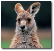 Le kangourou