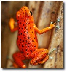 La grenouille fraise