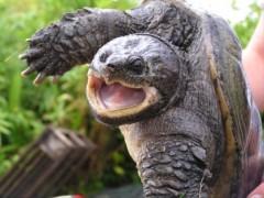 La tortue hargneuse