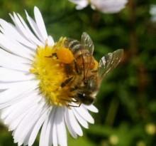 L'abeille mellifère