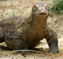 Le dragon de Komodo