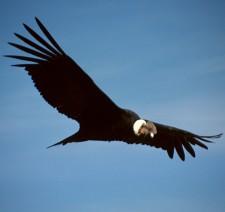 Le condor des Andes