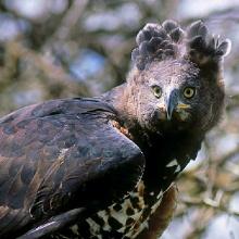 L'aigle couronné
